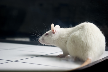 white (albino) laboratory rat on board during experiment